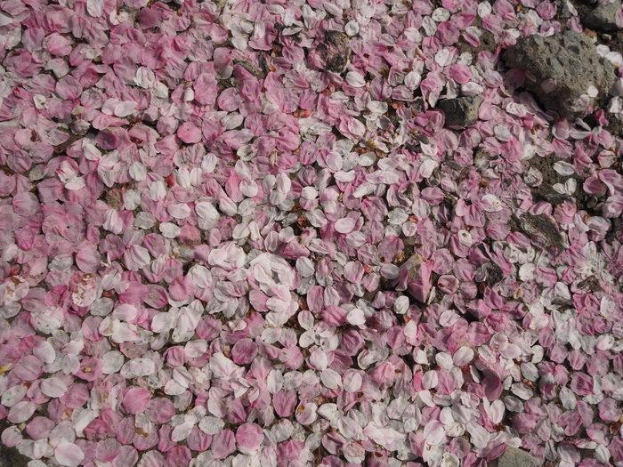 神ノ倉山登山(満開の桜)_c0116915_00423202.jpg
