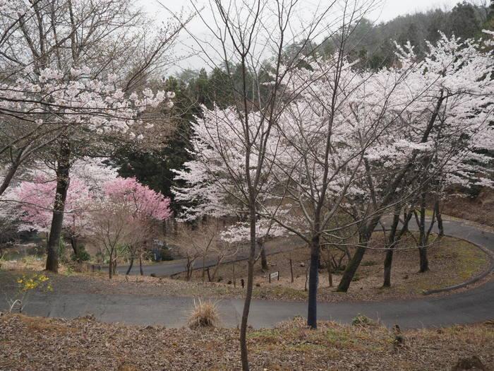 神ノ倉山登山(満開の桜)_c0116915_00470041.jpg
