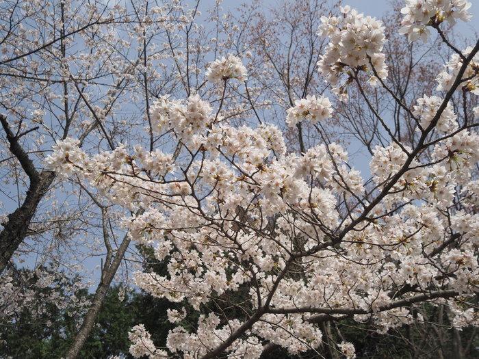 神ノ倉山登山(満開の桜)_c0116915_00474272.jpg