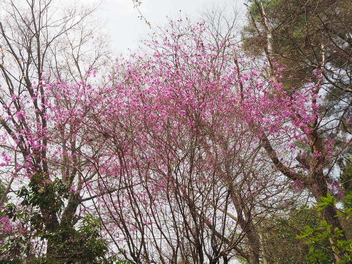 神ノ倉山登山(満開の桜)_c0116915_00481628.jpg