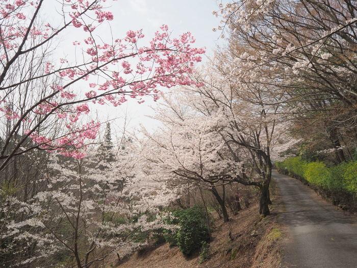 神ノ倉山登山(満開の桜)_c0116915_00484341.jpg