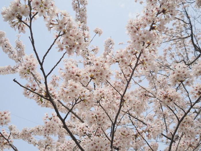 神ノ倉山登山(満開の桜)_c0116915_00491980.jpg