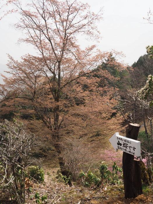 神ノ倉山登山(満開の桜)_c0116915_00502835.jpg