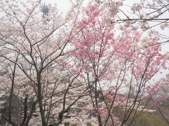 神ノ倉山登山(満開の桜)_c0116915_00513794.jpg