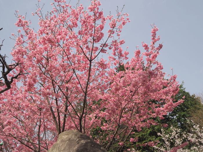 神ノ倉山登山(満開の桜)_c0116915_00515003.jpg