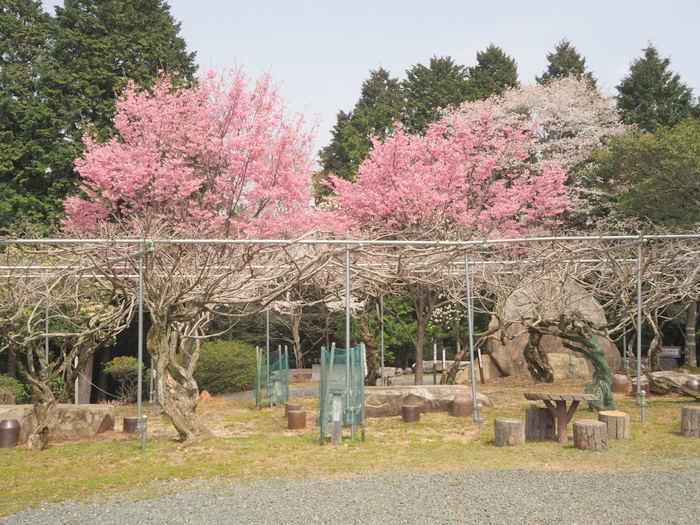 神ノ倉山登山(満開の桜)_c0116915_00531691.jpg