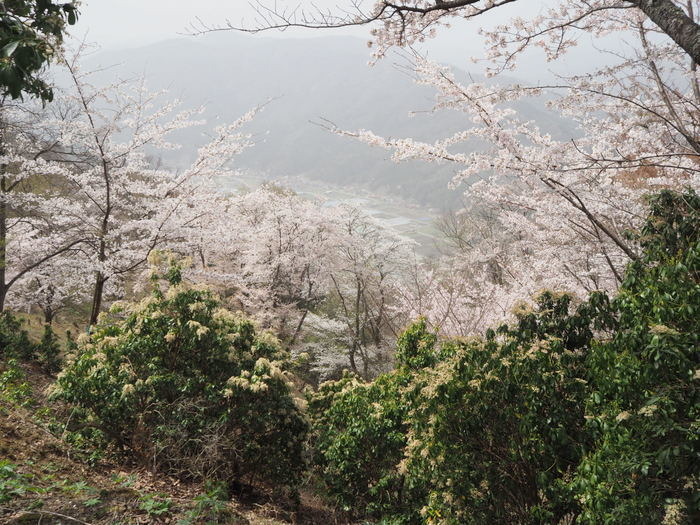神ノ倉山登山(満開の桜)_c0116915_00533483.jpg