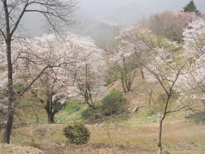 神ノ倉山登山(満開の桜)_c0116915_00554111.jpg