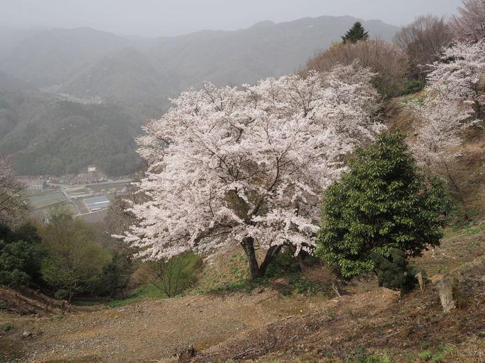 神ノ倉山登山(満開の桜)_c0116915_00560212.jpg