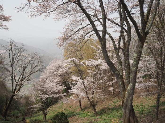 神ノ倉山登山(満開の桜)_c0116915_00562470.jpg