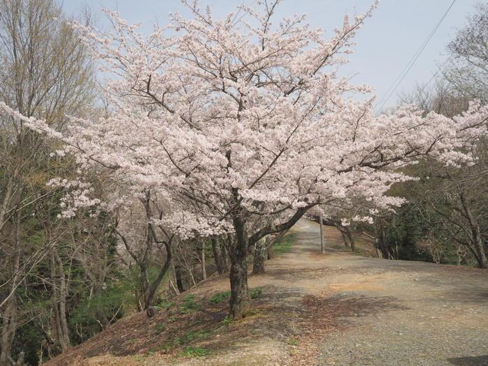 神ノ倉山登山(満開の桜)_c0116915_00581856.jpg