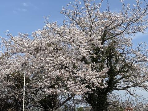 セイナンフーズの桜が満開です(*^▽^*)_e0184224_08434050.jpg