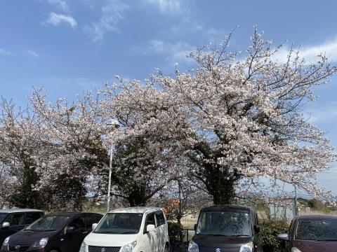 セイナンフーズの桜が満開です(*^▽^*)_e0184224_08435385.jpg