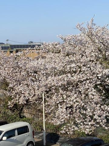 セイナンフーズの桜が満開です(*^▽^*)_e0184224_08440690.jpg