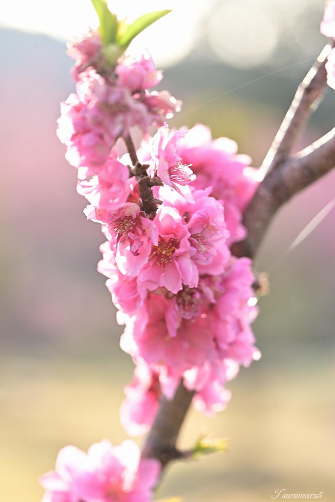 花桃の里へ_e0358534_19410705.jpg