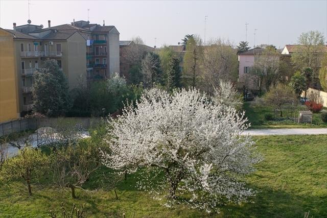 庭の桜、満開になりました。_d0047461_04281835.jpg