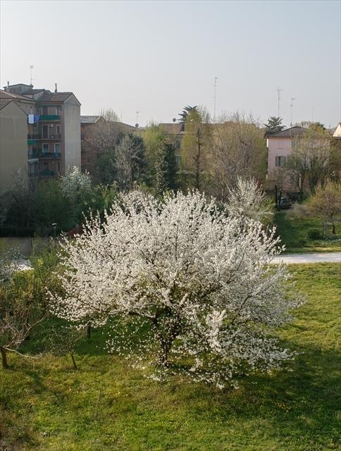 庭の桜、満開になりました。_d0047461_04281870.jpg