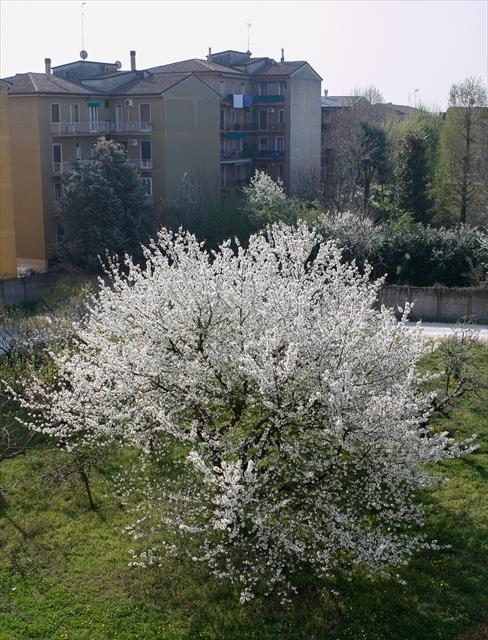 庭の桜、満開になりました。_d0047461_04281923.jpg