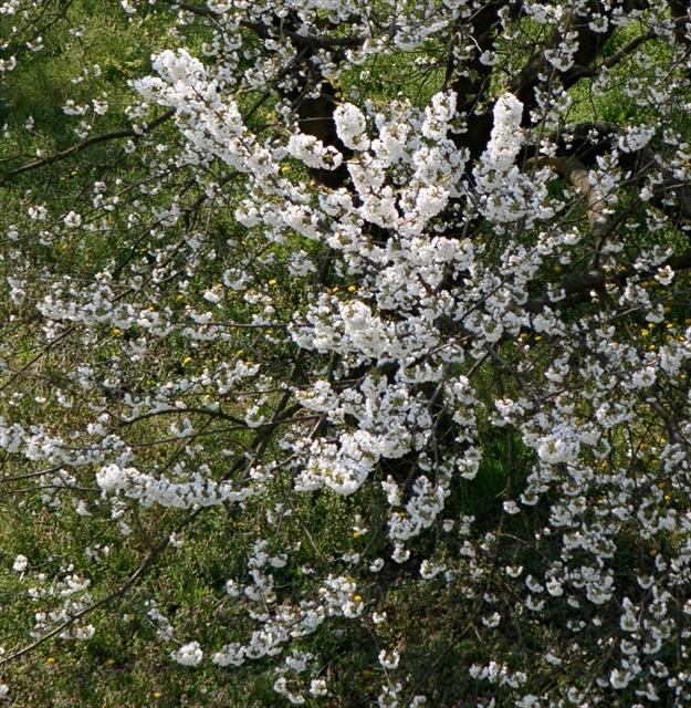 庭の桜、満開になりました。_d0047461_04281959.jpg
