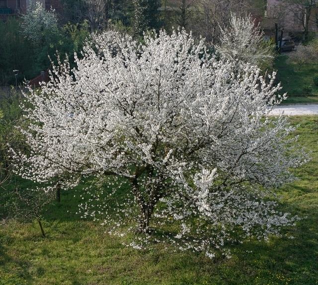 庭の桜、満開になりました。_d0047461_06153312.jpg