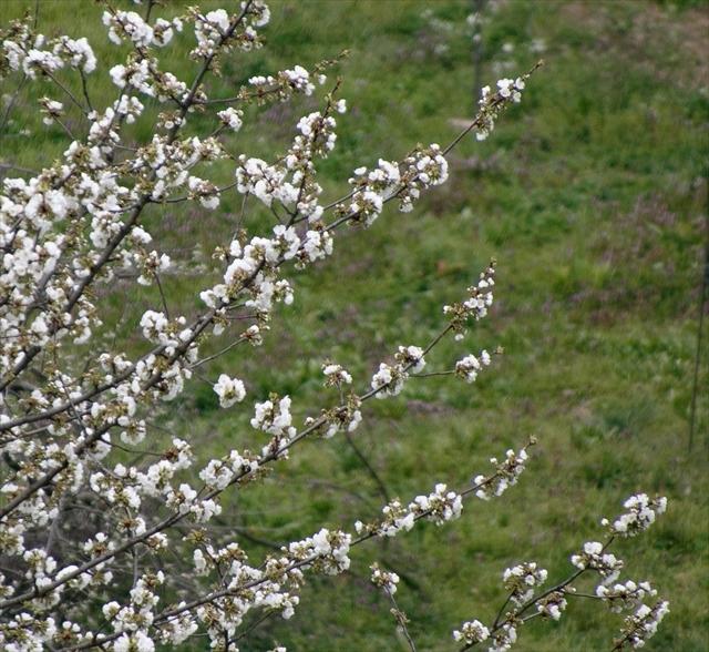庭の桜、満開になりました。_d0047461_13574834.jpg