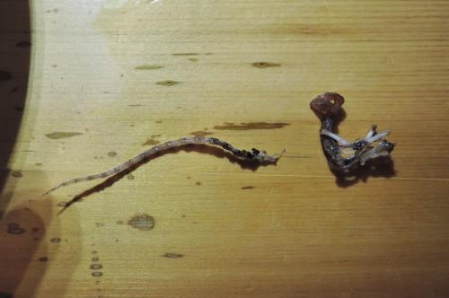 挑戦!トガリネズミ骨格標本・その2(閲覧注意)_d0154687_22215413.jpg