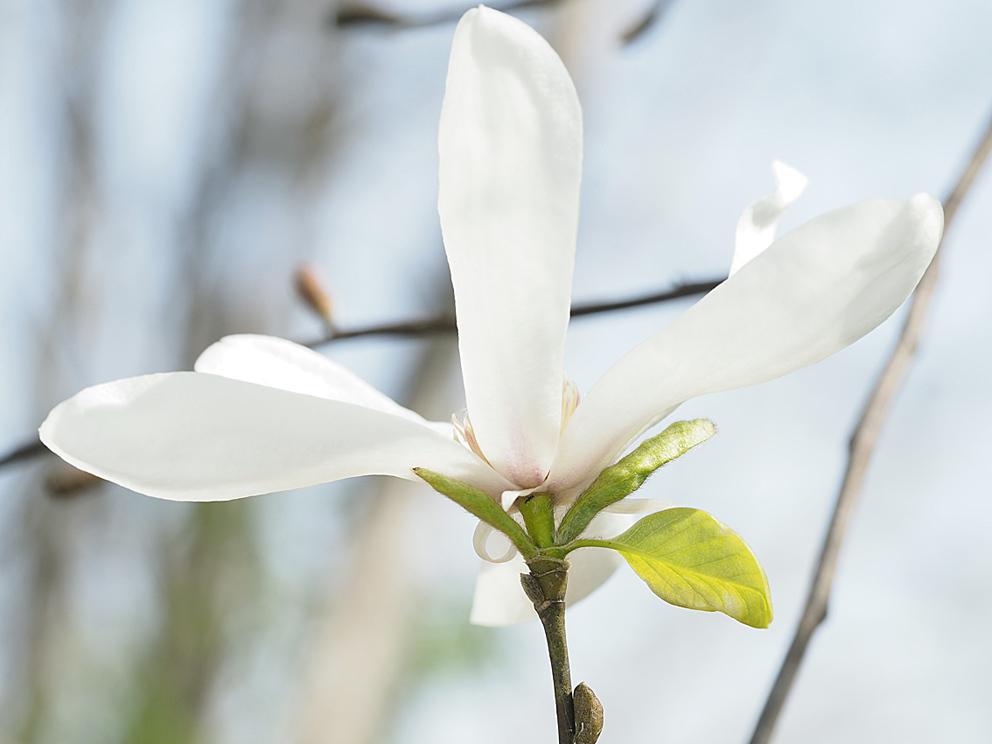 冬芽の展開(1) コブシ_d0163696_17231047.jpg