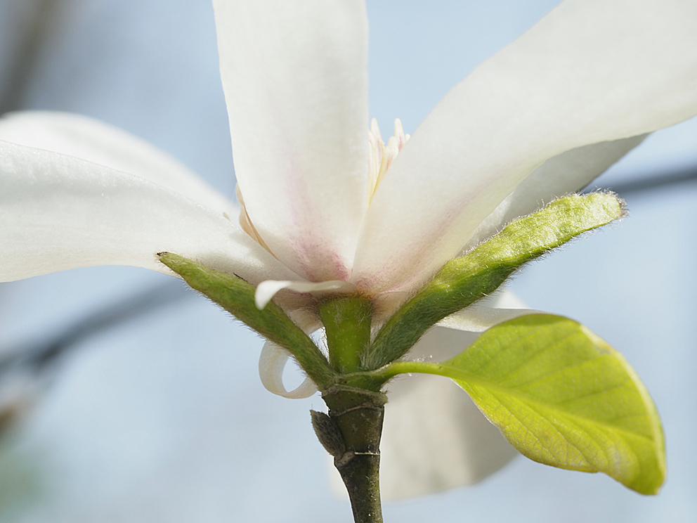 冬芽の展開(1) コブシ_d0163696_17231761.jpg