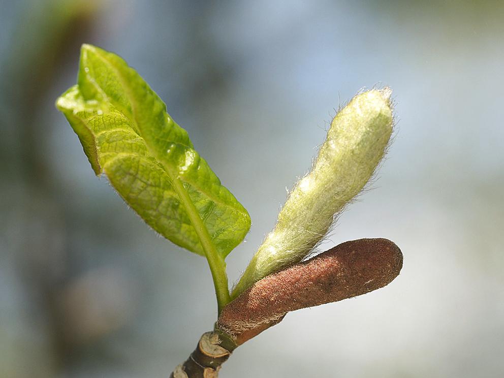 冬芽の展開(1) コブシ_d0163696_17233380.jpg