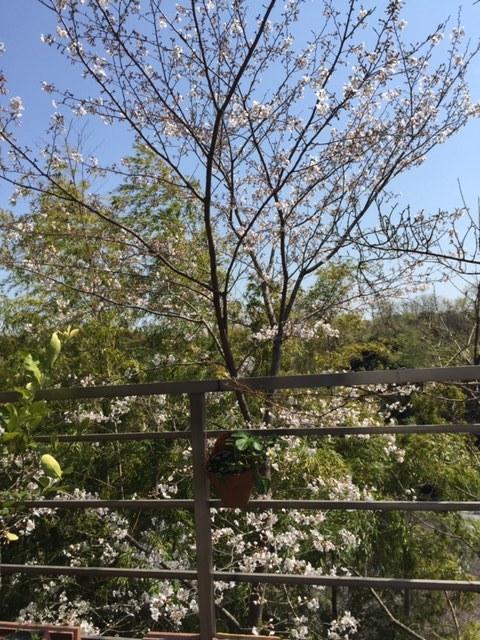 初タケノコでお花見_c0216197_16213363.jpg