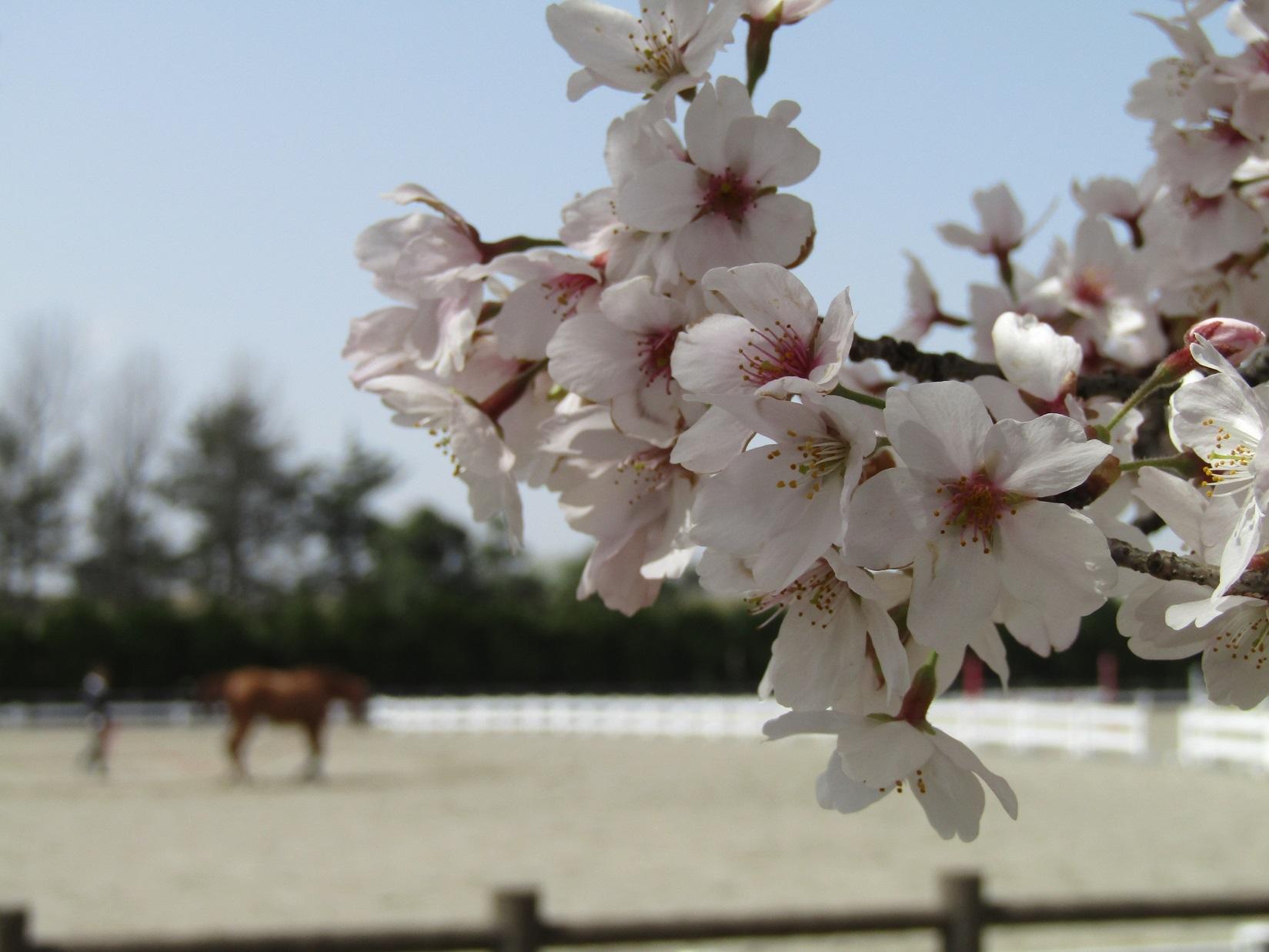 満開の桜で迎える新年度。_f0281398_18285870.jpg