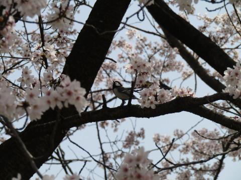 満開の桜で迎える新年度。_f0281398_18305453.jpg