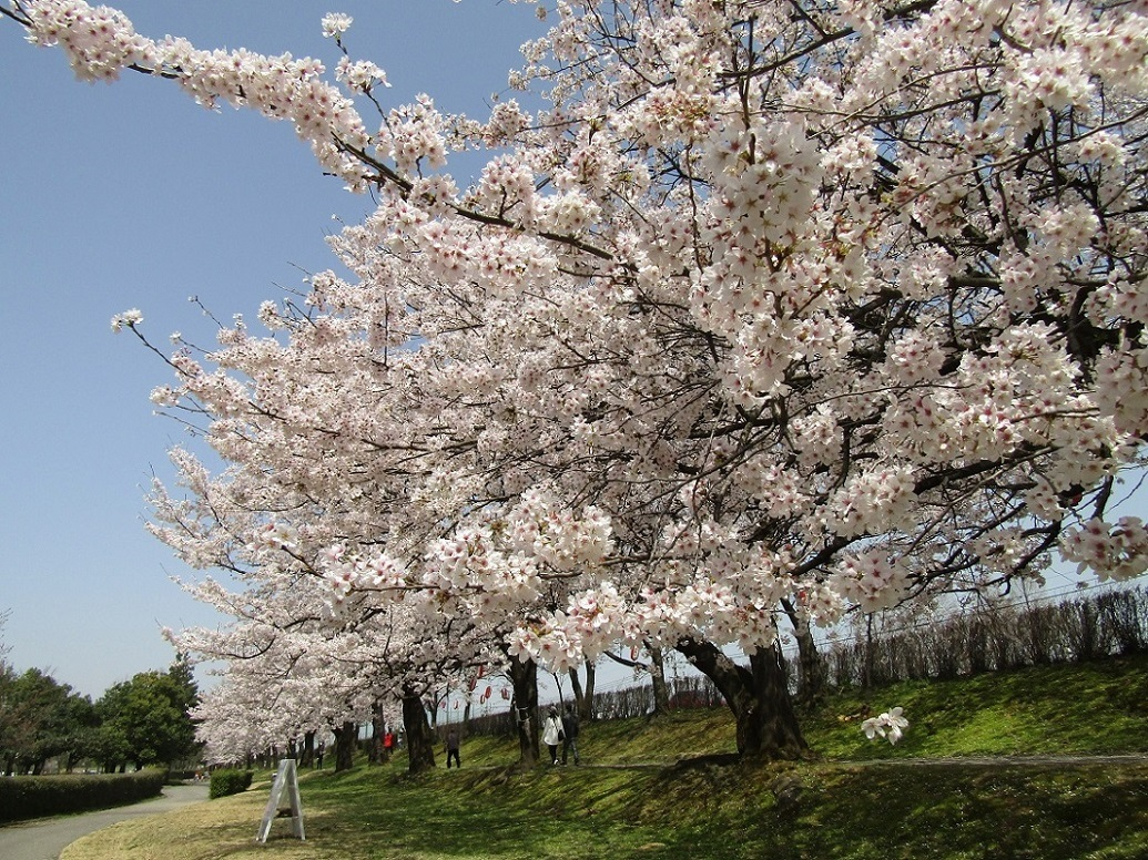 満開の桜で迎える新年度。_f0281398_18322692.jpg