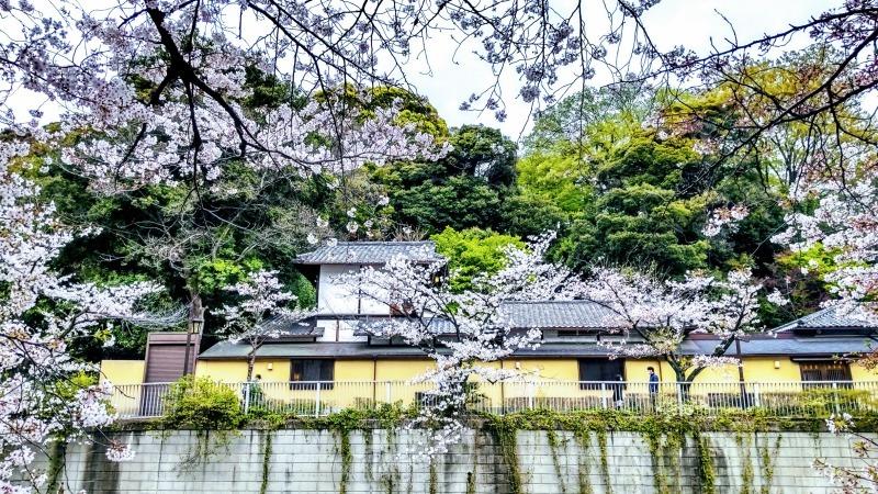 椿山荘付近の桜@神楽坂店_f0017300_18162084.jpg