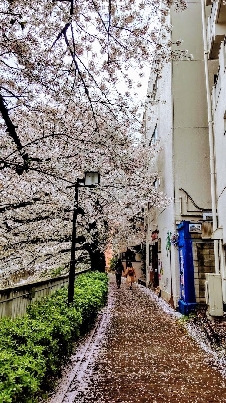 椿山荘付近の桜@神楽坂店_f0017300_18162936.jpg