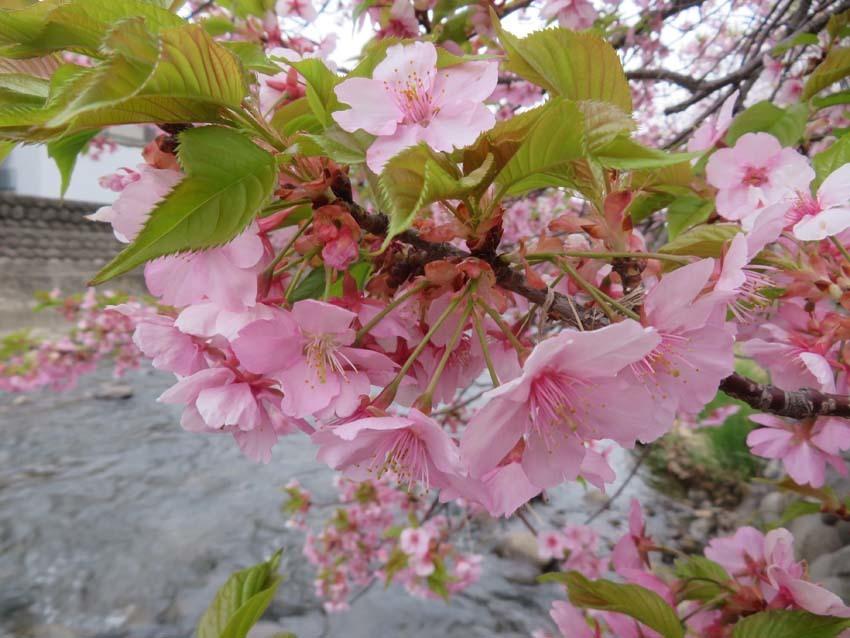 桜情報4_f0014205_13564144.jpg