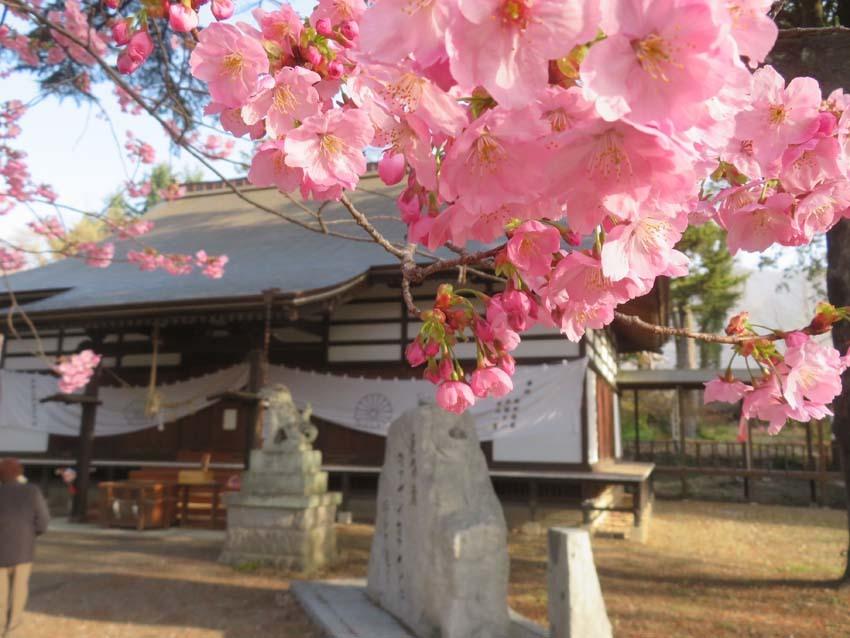 桜情報4_f0014205_13581802.jpg