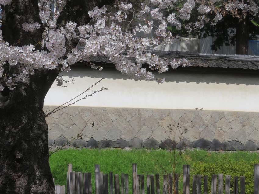 桜情報4_f0014205_14003332.jpg