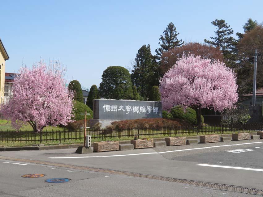 桜情報4_f0014205_14013354.jpg