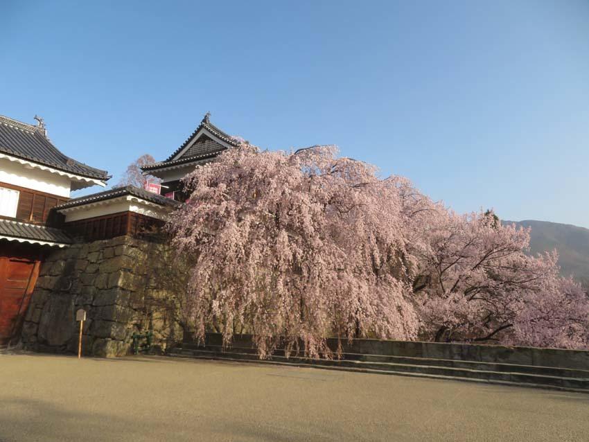桜情報4_f0014205_14023281.jpg