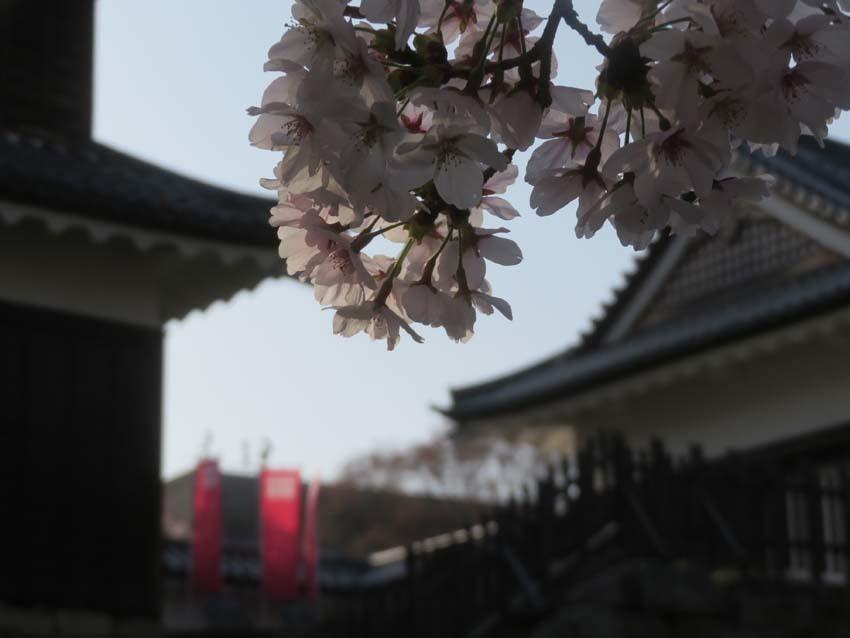桜情報4_f0014205_14032369.jpg