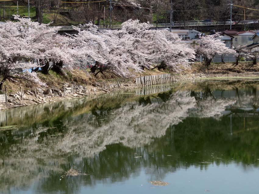 桜情報4_f0014205_14042295.jpg