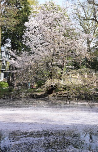 Sakura on Inokashira pond _f0006713_07561143.jpg