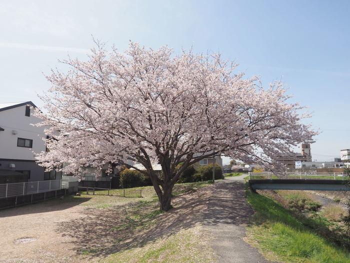 花散歩(石内川と八幡川沿い)_c0116915_00292664.jpg