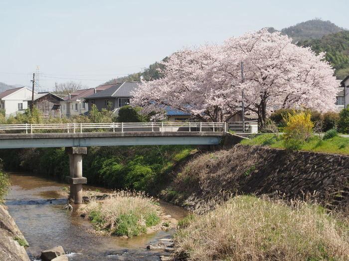 花散歩(石内川と八幡川沿い)_c0116915_00332008.jpg