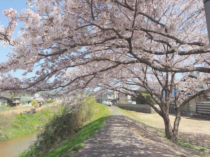 花散歩(石内川と八幡川沿い)_c0116915_00340367.jpg