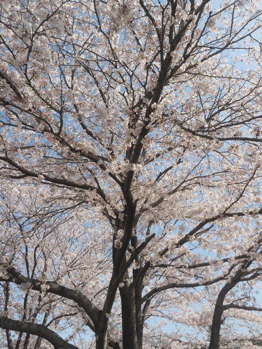 花散歩(石内川と八幡川沿い)_c0116915_00350049.jpg