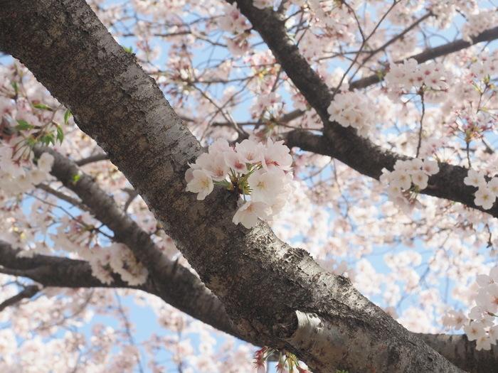花散歩(石内川と八幡川沿い)_c0116915_00351125.jpg