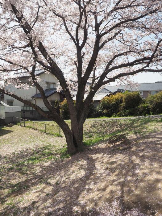 花散歩(石内川と八幡川沿い)_c0116915_00352376.jpg