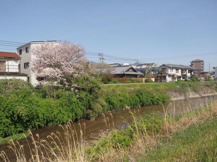 花散歩(石内川と八幡川沿い)_c0116915_00355250.jpg